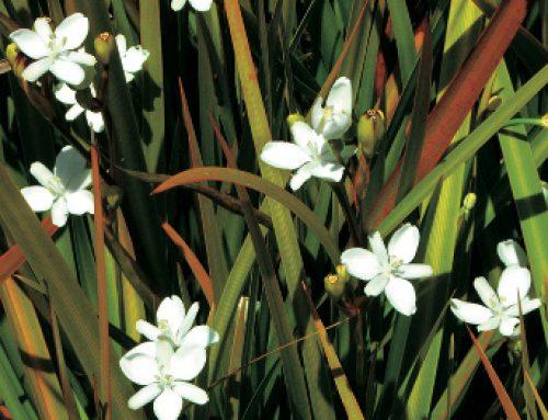 31 Native Iris